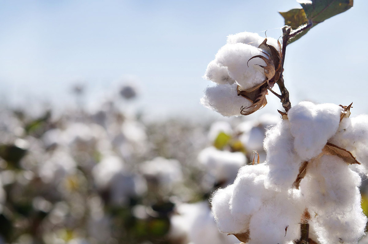 US bans cotton imports from Chinese producer XPCC, United States Of America